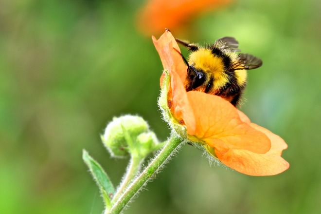 bumble-bee-2361348_1920