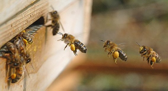 forager bees